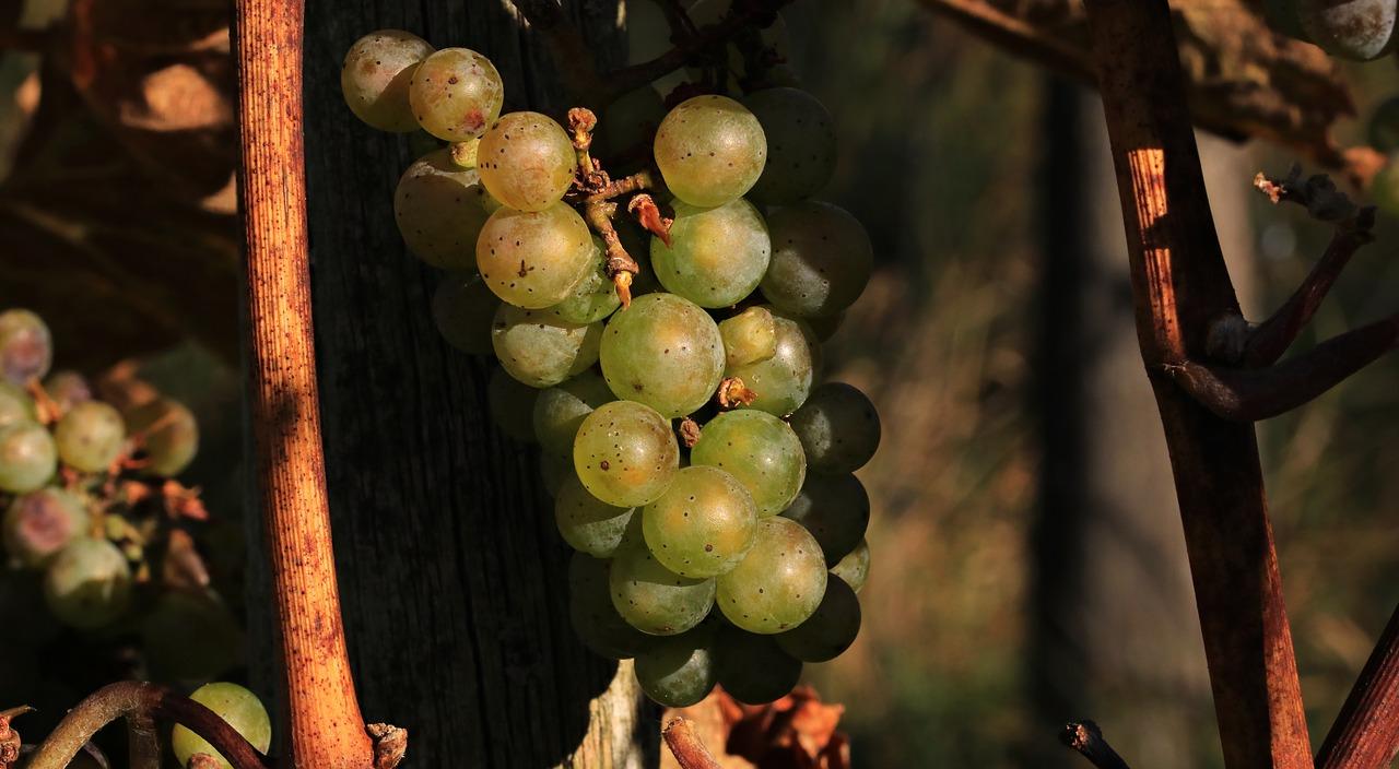 VITIVALO cherche à valoriser les déchets viticoles
